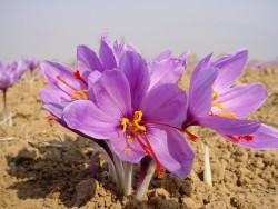 افزايش ۳۰ درصدی قيمت زعفران در خراسان رضوی