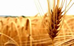 خرید ۷۱۱ هزار تن گندم از كشاورزان فارس