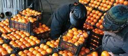 محتکران میوه دست بهکار شدند/ نرخهای متفاوت سیب و پرتقال دربازار