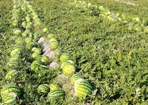 بیابانزایی به قیمت صادرات هندوانه