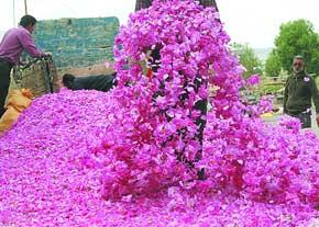 یک میلیون پایه گلمحمدی کشت بافتی در کشور تولید میشود/ تشکیل کمپین دوستداران گلمحمدی