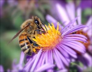 honey_bee_extracts_nectar(2)