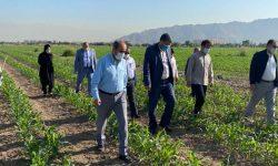 بازدید رئیس سازمان جهاد کشاورزی تهران از از روند اجرای طرح انتخاب مشارکتی ارقام مختلف گندم در شهرستان ری
