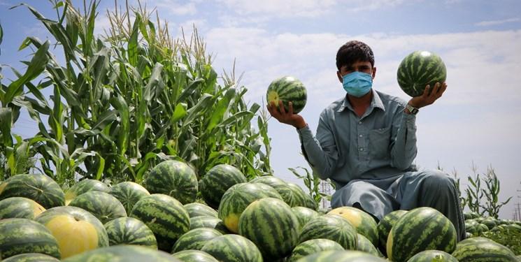 هندوانه روی دست کشاورز ماند/هزینه زیاد کرایه کامیون دسترنج کشاورزان را میبلعد